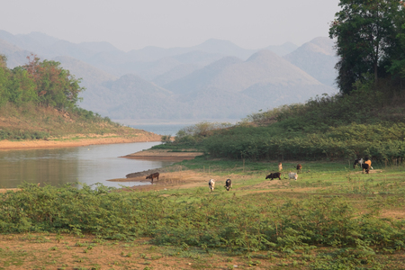 dams: A group of cows in Drought reserve dams in Krachan National Park, Thailand