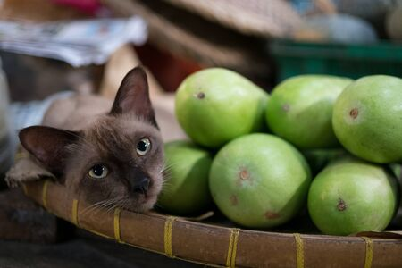 siamese cat: siamese cat lying at local market