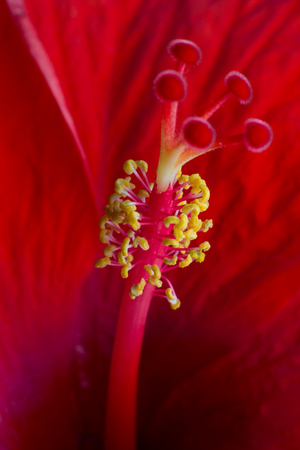 the stamens: Close-up of an opening red flower showing petals, stamens and pistil