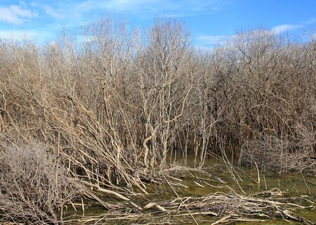 The mangrove tree at low tide and degradation Stock Photo