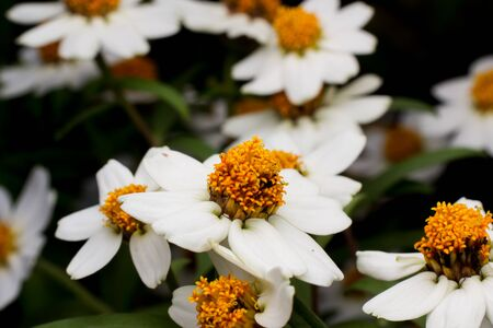 yellow stamens: Beautiful background of white flowers with yellow stamens small.
