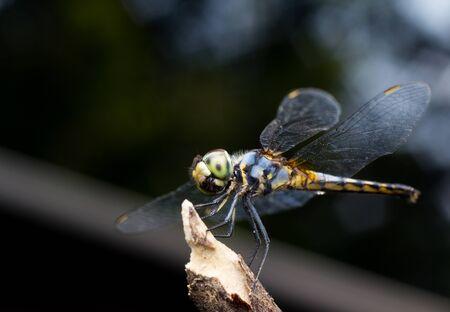 dropwing: Close-up Dragonfly yellow