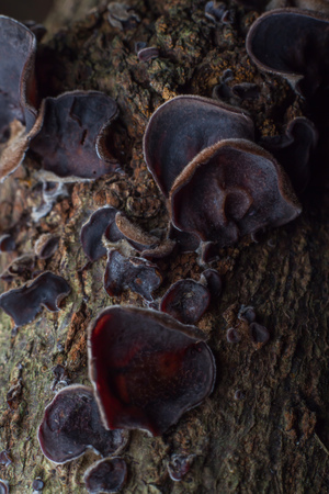topple: Wild mushrooms growing on dead trees topple the deducted decay. Stock Photo