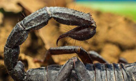stinger: Macro image of the stinger of a scorpion