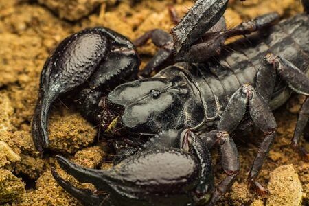 arachnid: Tropical Scorpion in Thailand Stock Photo