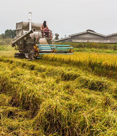 harvest field: combine Harvester in rice field