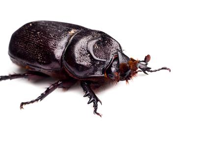 scarab: Scarab beetle , Horn beetle Dynastinae on white background. Stock Photo