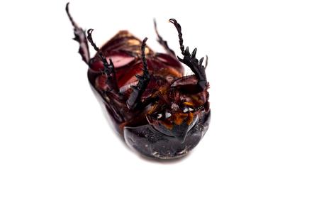 horn beetle: Horn beetle Dynastinae on white background.