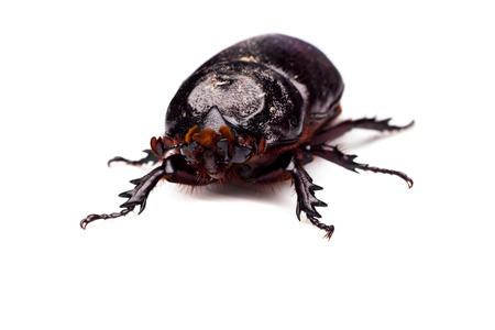 horn beetle: Macro Beetle,Rhinoceros beetle, Rhino beetle, Hercules beetle, Unicorn beetle, Horn beetle Dynastinae