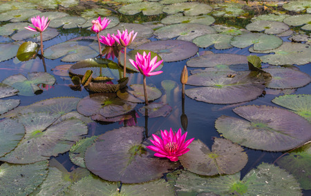 frondage: Pink lotus blossoms or water lily flowers blooming on pond
