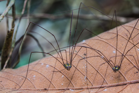 harvestman: Spider perched on dry plant leaf Stock Photo