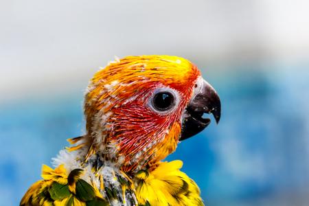 periquito: Cerca cabeza del Parakeet o Sun Conure