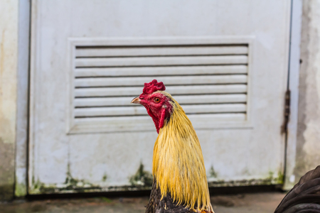 fighting cock: fighting cock,chicken,bantam Stock Photo