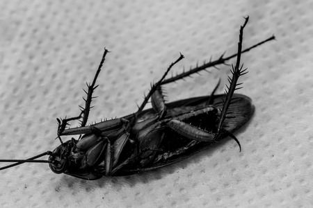 hairy back: Dead cockroaches on the floor contaminated debris.
