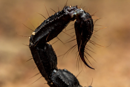 Close Up view of  Tail scorpion venom