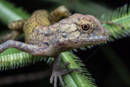 Macro shot Brown chameleon