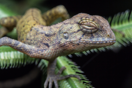 Macro shot Brown chameleon