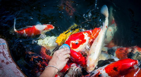 koi: Colorful koi fish, swimming in a water garden