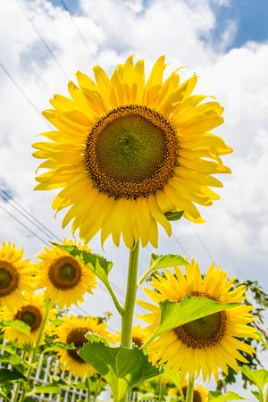 sunflower Stock Photo - 94285320