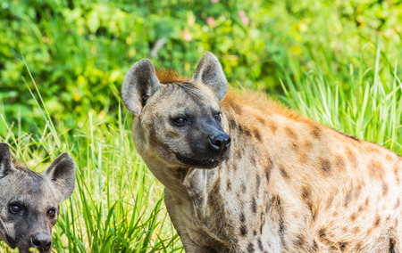 scavenger: Awesome wildlife hyenas Stock Photo