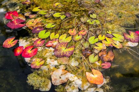 Lotus leaf in the fish bowl Standard-Bild