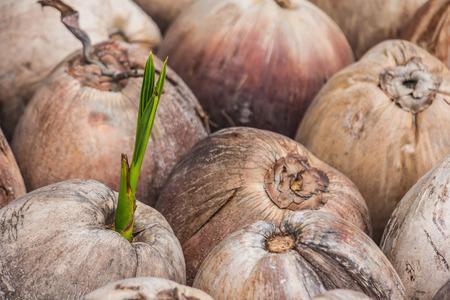 Plántulas de coco para la siembra. Foto de archivo - 83525610