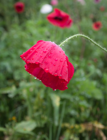 Poppy bright colors after rain Stock Photo - 94842992