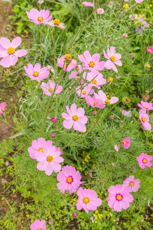 Cosmos Flowers colorful in garden Stock Photo - 94684892