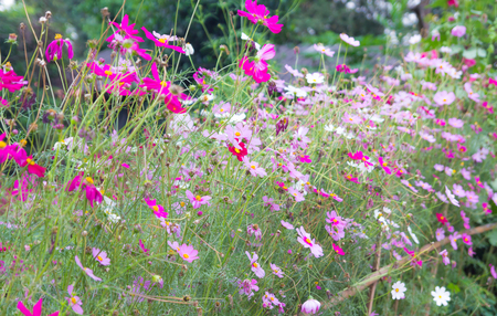 Cosmos Flowers colorful in garden