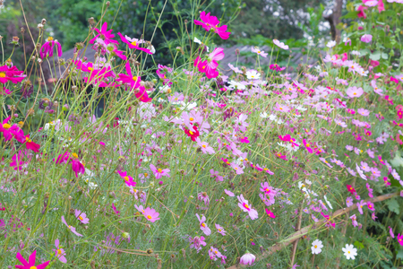 Cosmos Flowers colorful in garden Stock Photo - 95129266