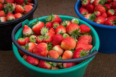 Fresh Strawberries in Bucket at the garden