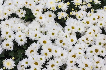 Flower chrysanthemum abundant outdoor bloom. Stock Photo