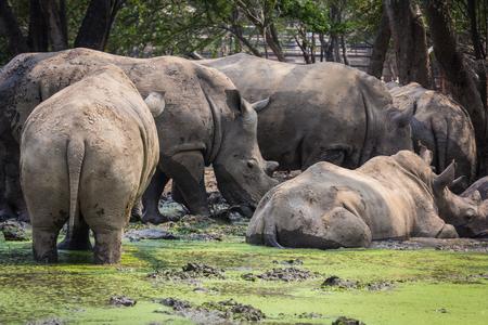 A big rhino  rhinoceros in the zoo Thailand