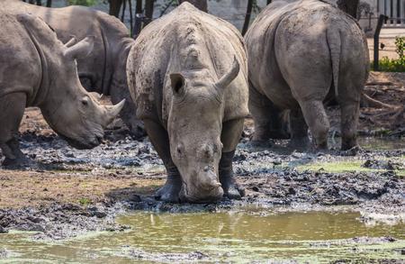 Many rhinoceros in the zoo Stock Photo