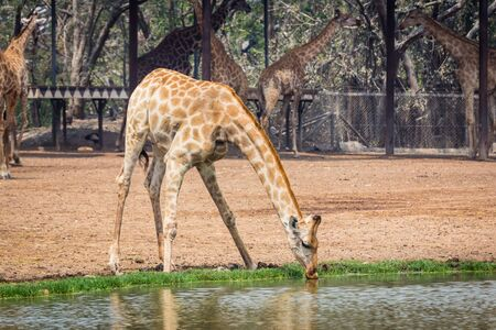 Giraffe is drinking water by the pond