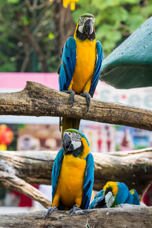 Macaw bird,Parrots standing on wood, Stock Photo