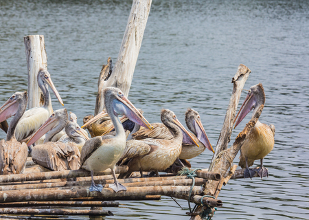 Pelican gathering on the waterfront patio. Stock Photo