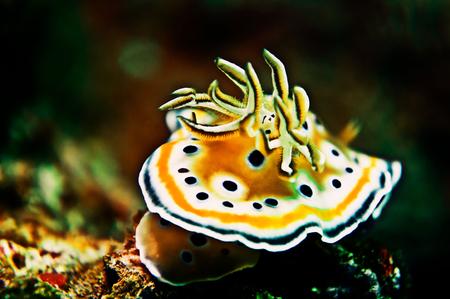 coi: Chromodoris geminus Nudibranchs