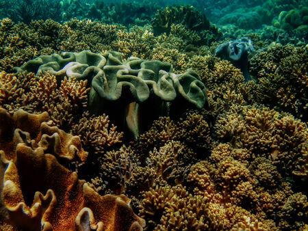 coral colony: Morbida colonia di corallo in Cebu Filippine Archivio Fotografico