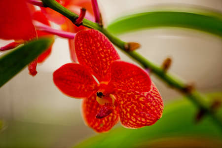 Thai Red Orchid photo