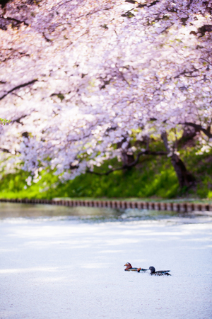 Sakura and  Mandarin ducks photo