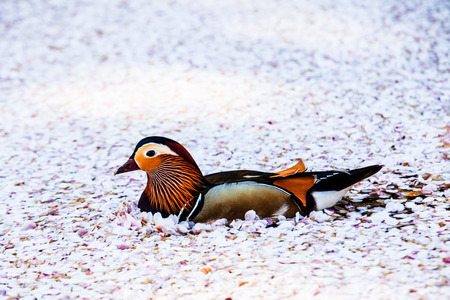 Sakura and  Mandarin duck photo
