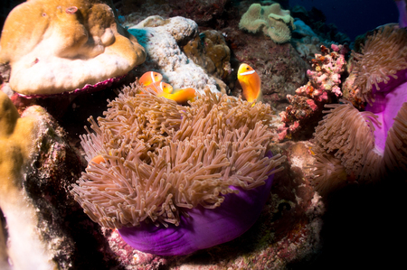 clownfish: Violet Sea Anemones and Clownfish