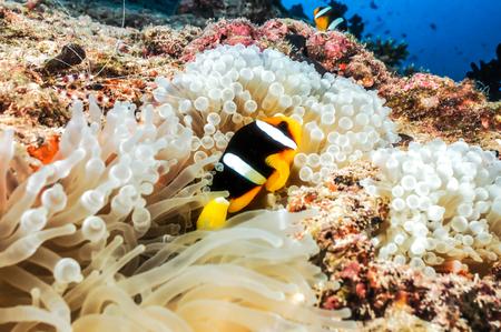 ocellaris: Ocellaris Clownfish on a coral reef