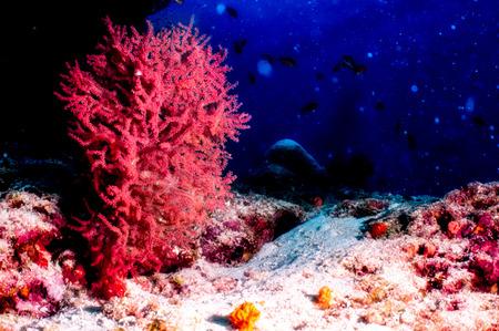 gorgonian sea fan: Giant Red Sea Fan Coral