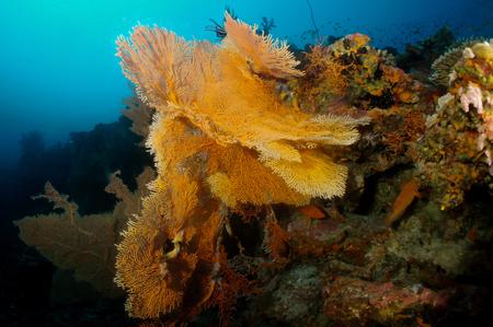 gorgonian sea fan: Giant Sea Fan Coral