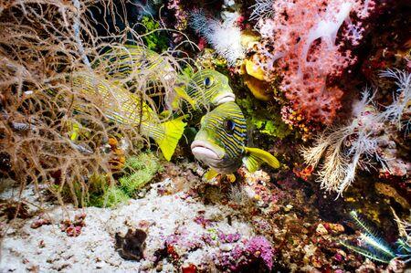 sweetlips: Oriental Sweetlip under the sea