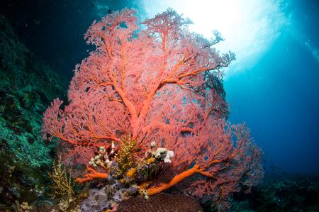 gorgonian sea fan: Sea fan under the sea