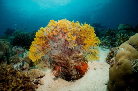 gorgonian sea fan: Soft coral under the sea