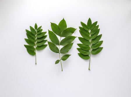 Green leaves isolated on the white background. Top view, flat lay. Copyspace